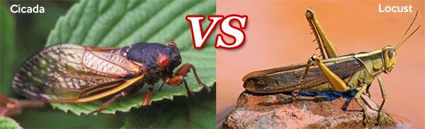 Cicada VS Locust
